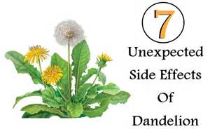 dandelion root effects in men picture 5