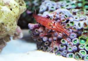 peppermint shrimp feeding picture 9