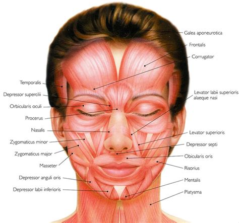 face muscle picture 7