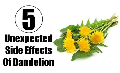 dandelion root effect on men picture 2