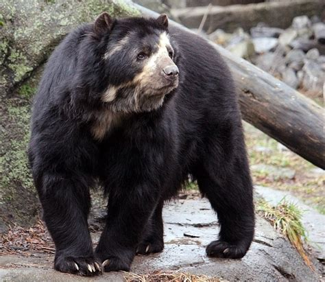 bear teeth picture 2