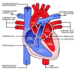 please review blood flow to and from the picture 1
