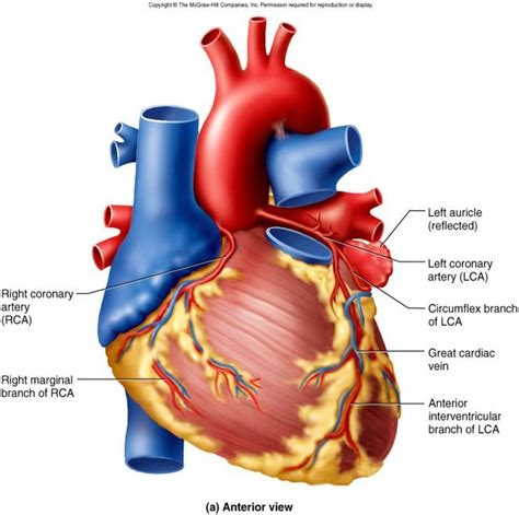 coronary blood flow picture 2