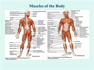 your ubulus muscle is connected to your the picture 6