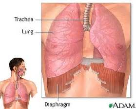 diaphram muscle for breathing picture 6