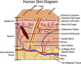 structure of skin picture 2