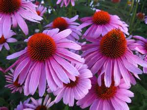 echinacea plants or seeds for sale picture 2
