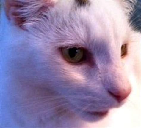 feline thyroid disease picture 11