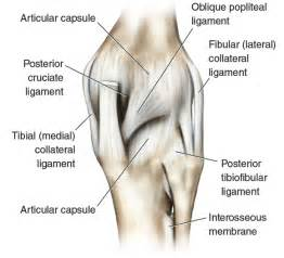 pictures of ligaments knee joint picture 11