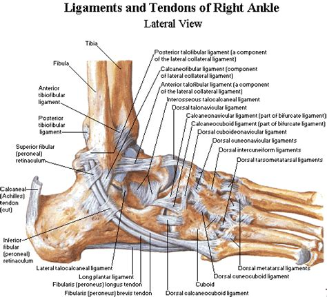 can tarsal tunnel problems restricted blood flow to the calf picture 13