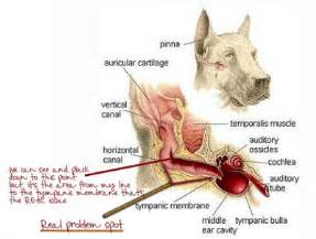 can hypothyroidism cause ear infections picture 14