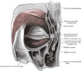 muscle that surrounds the eye orbit picture 7