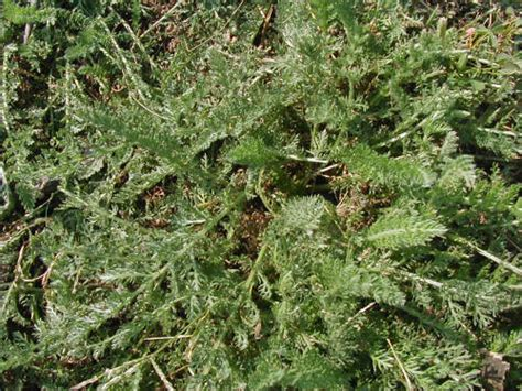 creeping yarrow picture 2