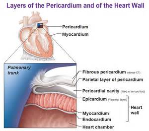 cardiac muscle is found in the wall of picture 10