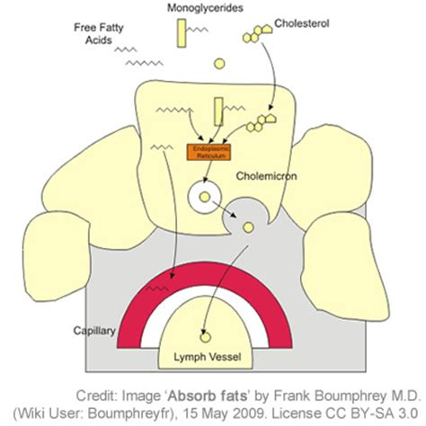 absokrbtion in the gastrointestinal tract picture 14