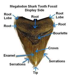 prehistoric shark h picture 5
