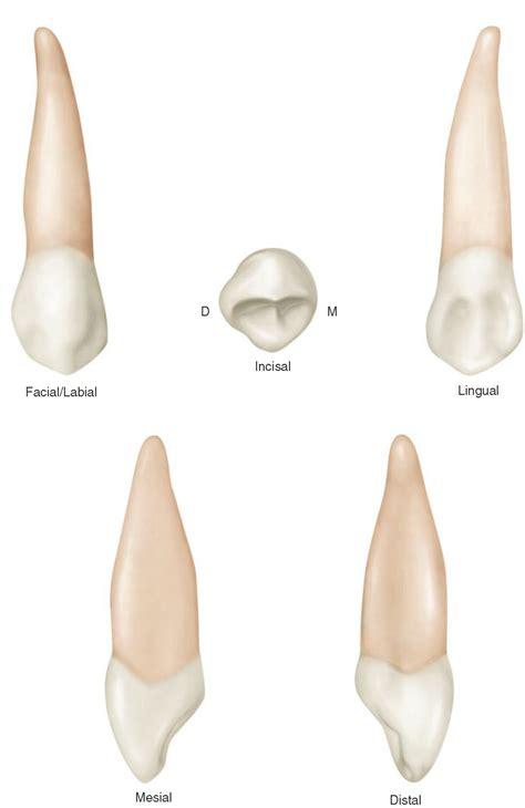 cuspid teeth picture 13