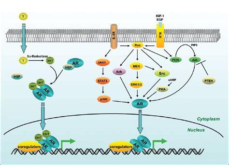 testosterone estrogen receptor picture 13