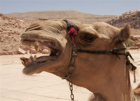camel tooth symbolism picture 1