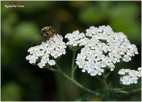 yarrow and herpes picture 9
