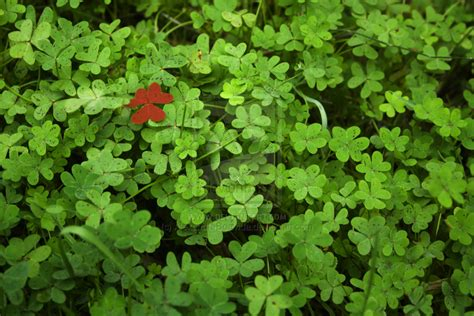 Red Clover Leaf picture 5