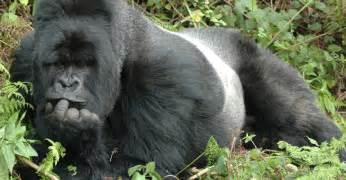 gorillas penis picture 3