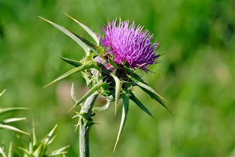 milk thistle help liver disease picture 2