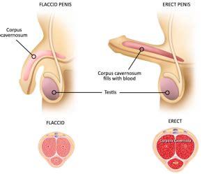 Erection blood flow picture 11