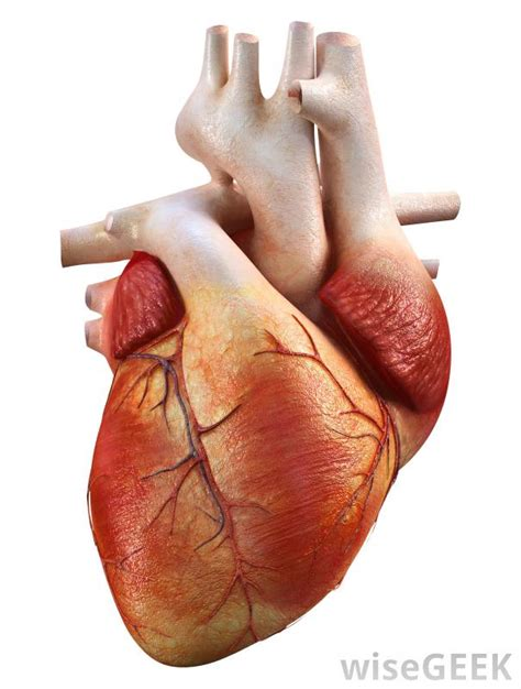 heart muscle picture 3