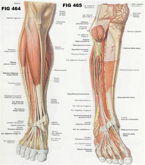 list of agonist/antagonist muscles picture 14