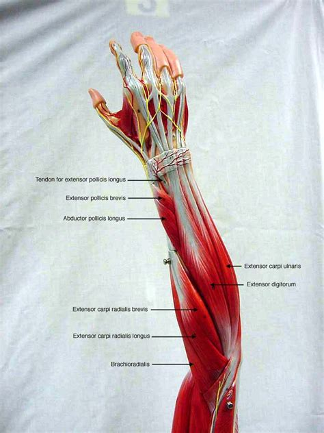 anatomy muscle model picture 19