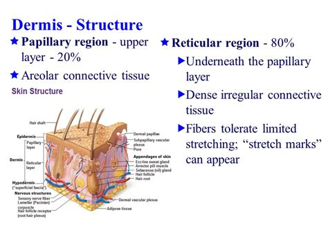 are stretch marks on the papillary picture 11