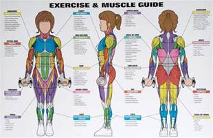 muscle groups picture 2