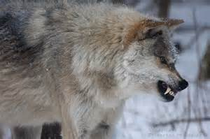 wolf teeth picture 14