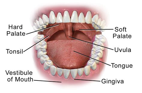 digestion the mouth picture 12
