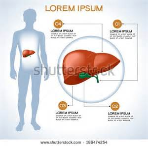 human anatomy liver picture 6
