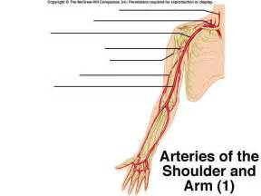 upper extremity of blood circulation picture 7