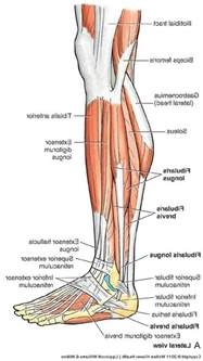 lower body muscle diagram picture 9
