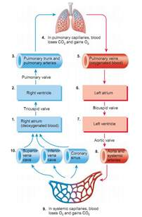 diagram of blood flow picture 9