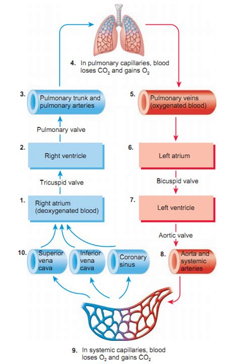 circulation of blood flowchart picture 7