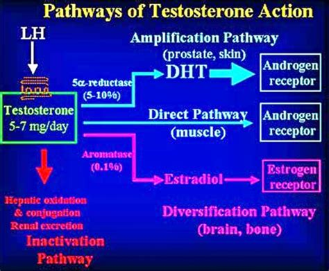 testosterone undecanoate mechanism of action picture 13