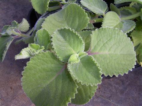anong gamot herbal pananakit ng bay picture 6