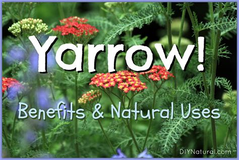 yarrow use picture 5