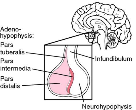 adenohypophysis picture 1
