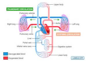 flowchat betweeen the blood circulatory system and the picture 13