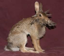deer antler herpes picture 13