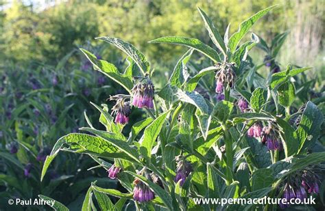 growing comfrey philippines picture 1