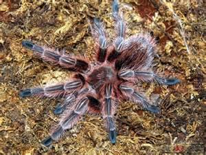 chilean rose hair tarrantula picture 6