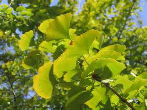 functions of ginkgo biloba picture 6
