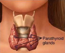 parathyroid gland picture 3